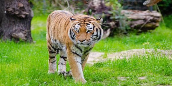 Tiger population in India has seen a boost over 4 years