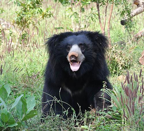 Ratan Mahal Sloth Bear Sanctuary