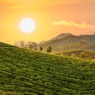 Walk in Coffee Plantation