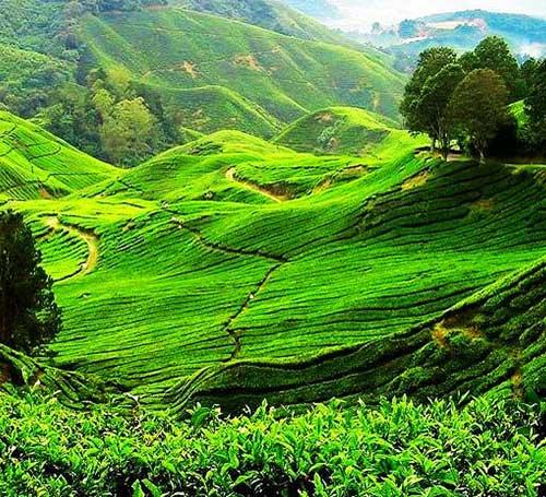 Nillai Tea Estate