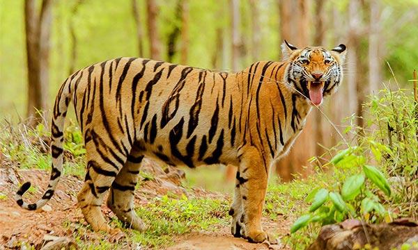 Tadoba Andhari Tiger Reserve Maharashtra